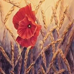 poppy in wheat field.jpg