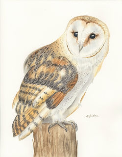 barn owl at rest_scan_high res.jpg