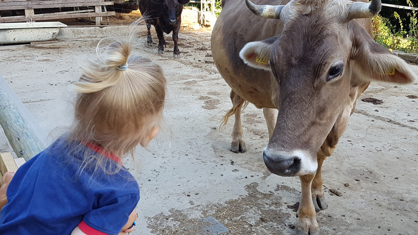 Le nostre mucche