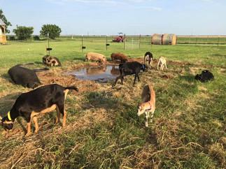 Goats and Kunekunes