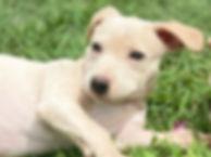 lab puppy closeup.JPG