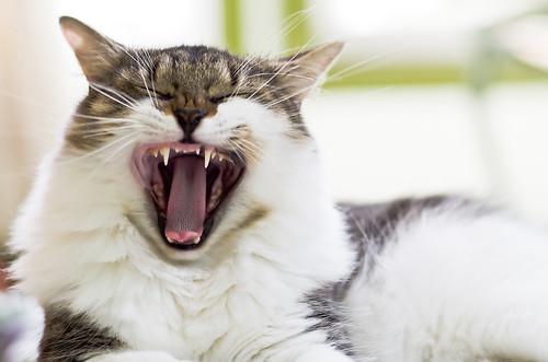 岐阜 北 動物病院 猫 歯周病 歯肉炎 歯石