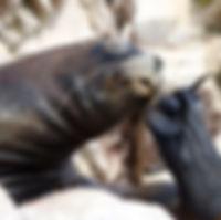 lobo marino rascándose hocico