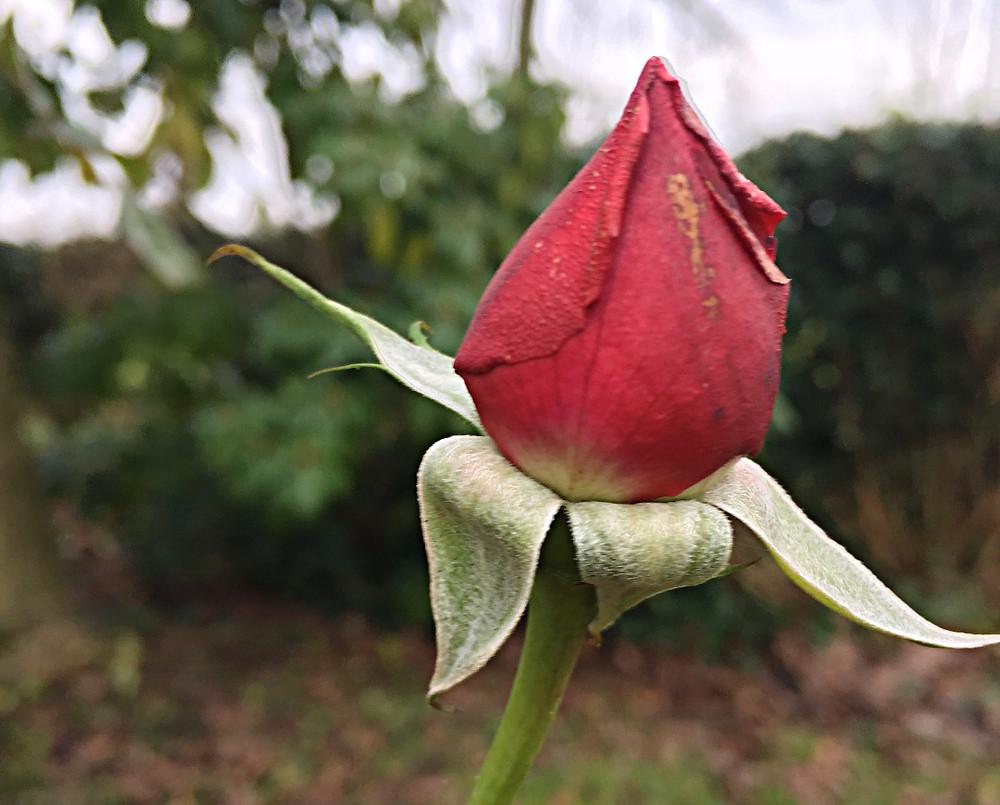 een roosje op kerst in mijn tuin
