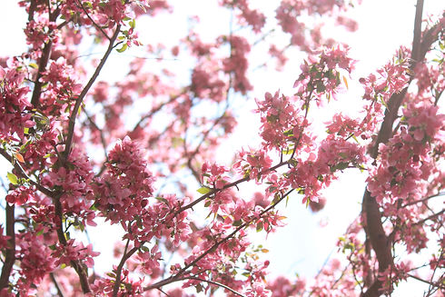 pink%20blossoms%20in%20spring_edited.jpg