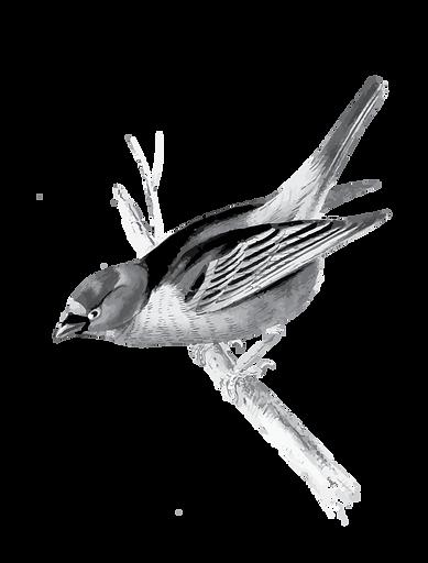 ציפור.png