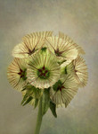 PDI: 'Umbrella Flower' by Anne Doherty - Ballymoney Amateur Photographic Club