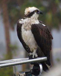 osprey 005re
