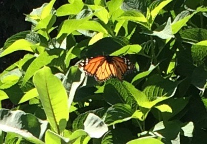 A monarch butterfly visit