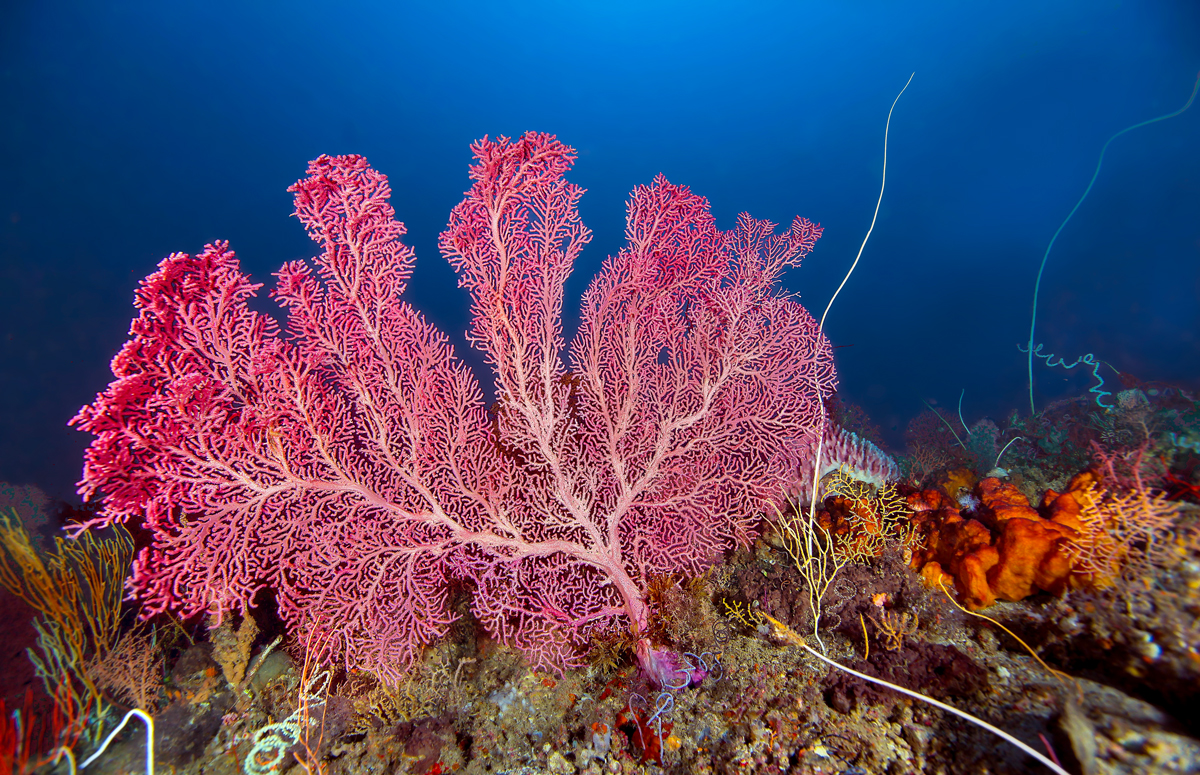 Large Pink Fan Coral