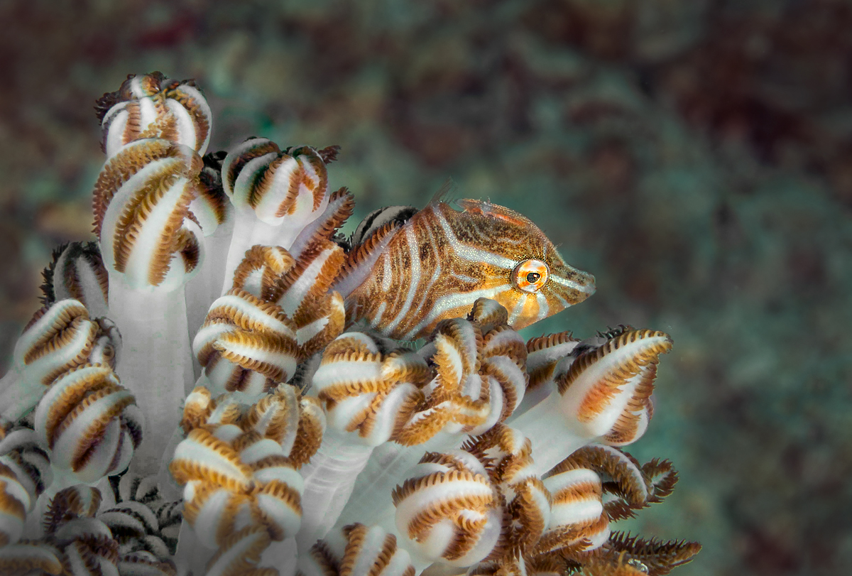 Radial Filefish