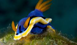 Magnifa Nudibranch