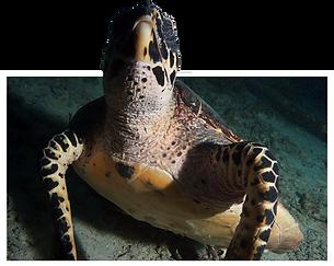 Sea Turtle looking up