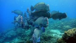 Green humphead parrotfish storming