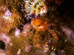 Coral Crab with Christmas Tree Worm