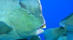 Green humphead parrotfish up close.