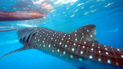 Whale shark and banca boat.