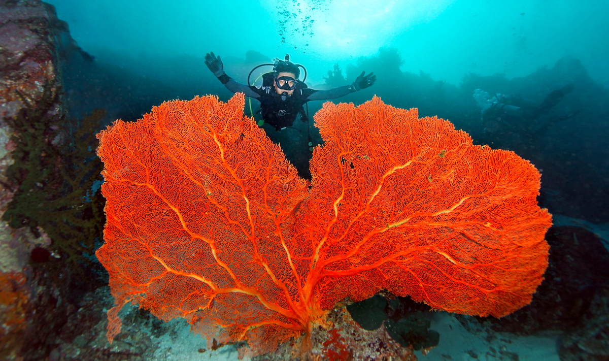 Scuba diver with large fan coral