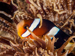 Clownfish - or Nemo for friends - is a common sight at many Hong Kong dive sites.