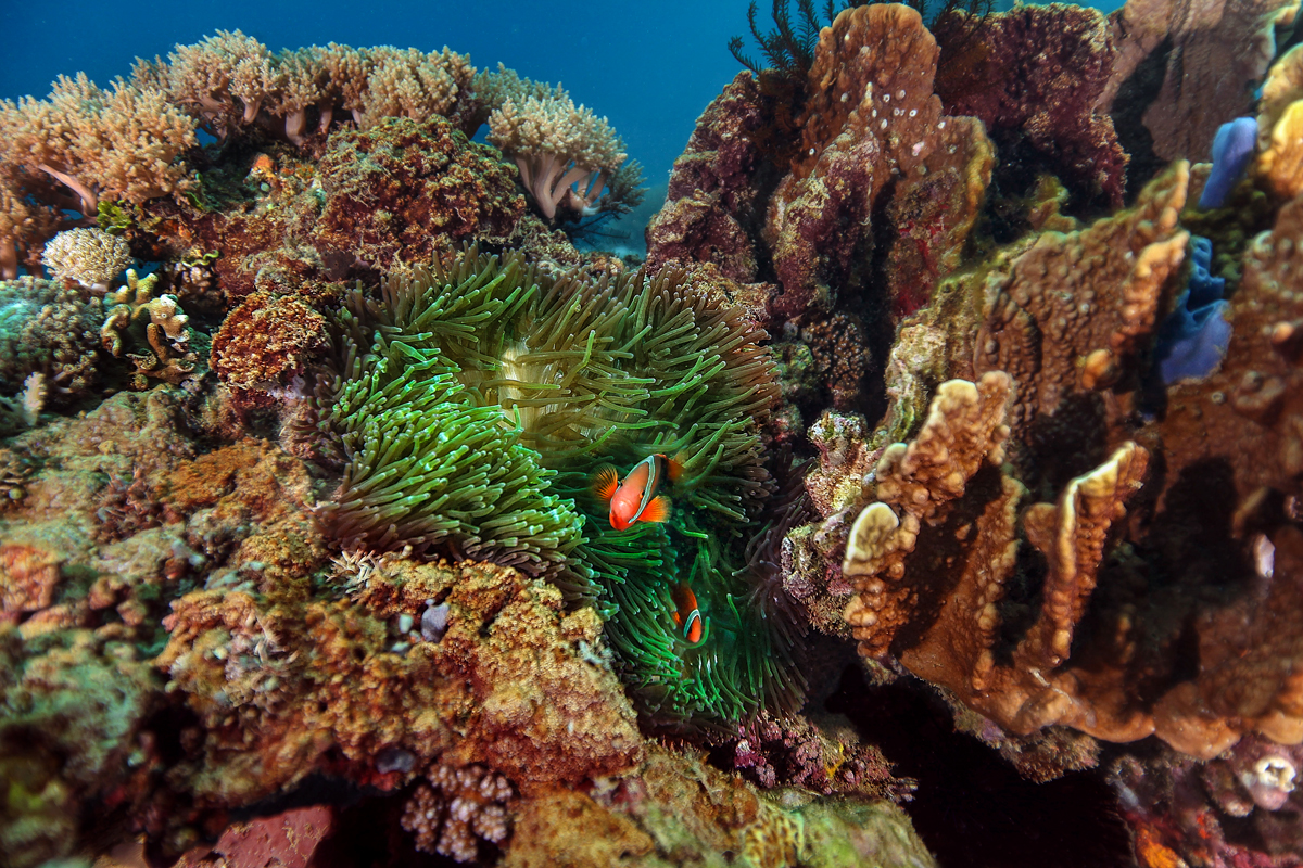 Clownfish at the reef