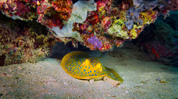 Blueppotted ribbontail ray