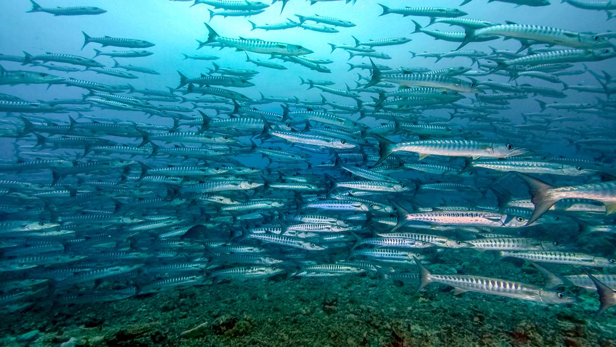 School of Barracudas