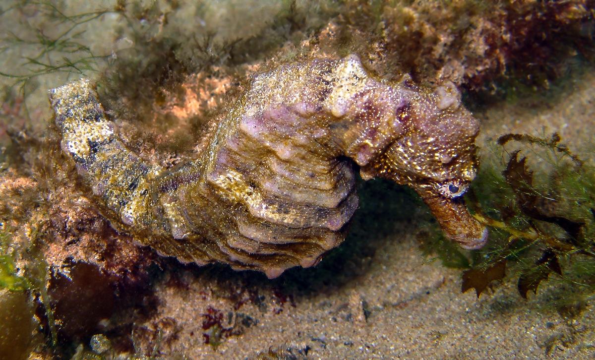 Seahorse at Lobster Bay