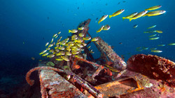 Yellow Snappers at Wreck