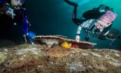 Diver looking at Wobbegong Shark