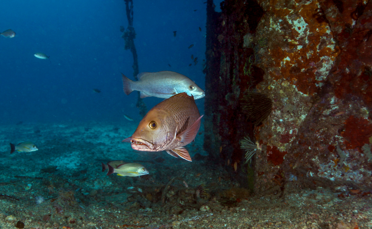 Grouper at Wreck