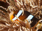 Clownfish - or Nemo for friends - is a common sight at many dive sites.