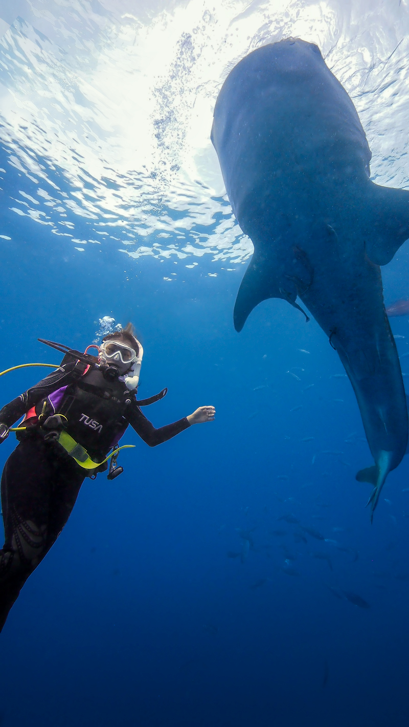 Whale shark and scuba diver