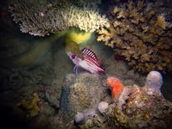Moray eel catches prey