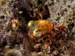 Pygmy Squid
