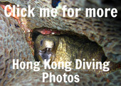 Moray Eel in a hole. Link to Hong Kong scuba diving photos.