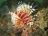 Beatiful - and venomous - lionfish often hovers above the reef.