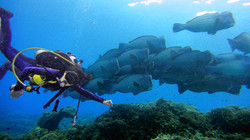 Diving with humphead parrotfish
