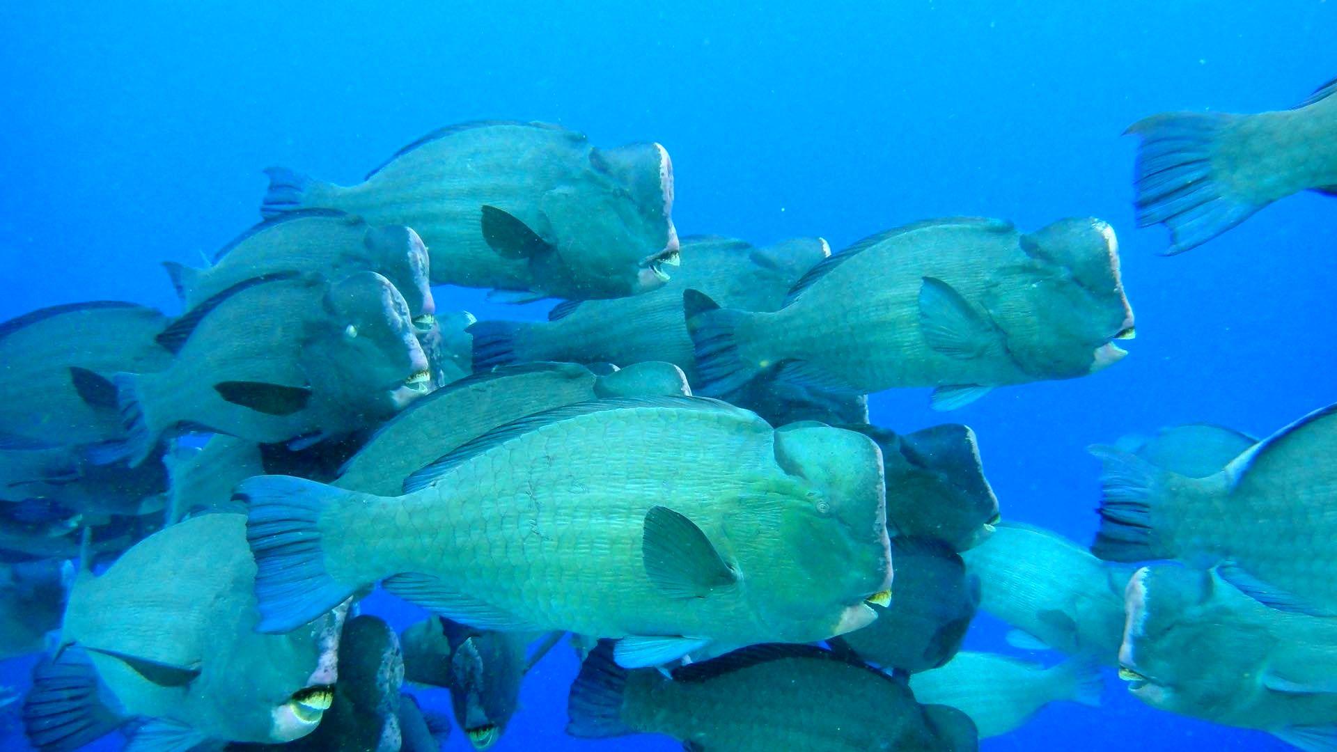 Green humphead parrotfish