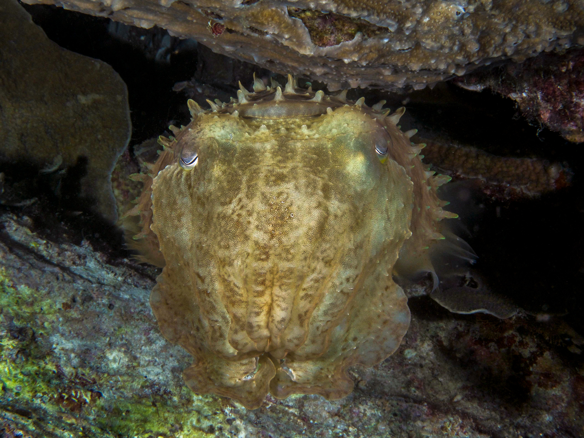 Cuttlefish lurking in a hole