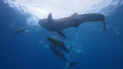 Three whale sharks