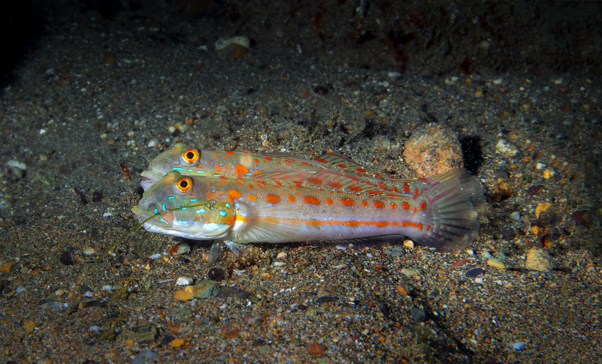 Orange-dashed Goby