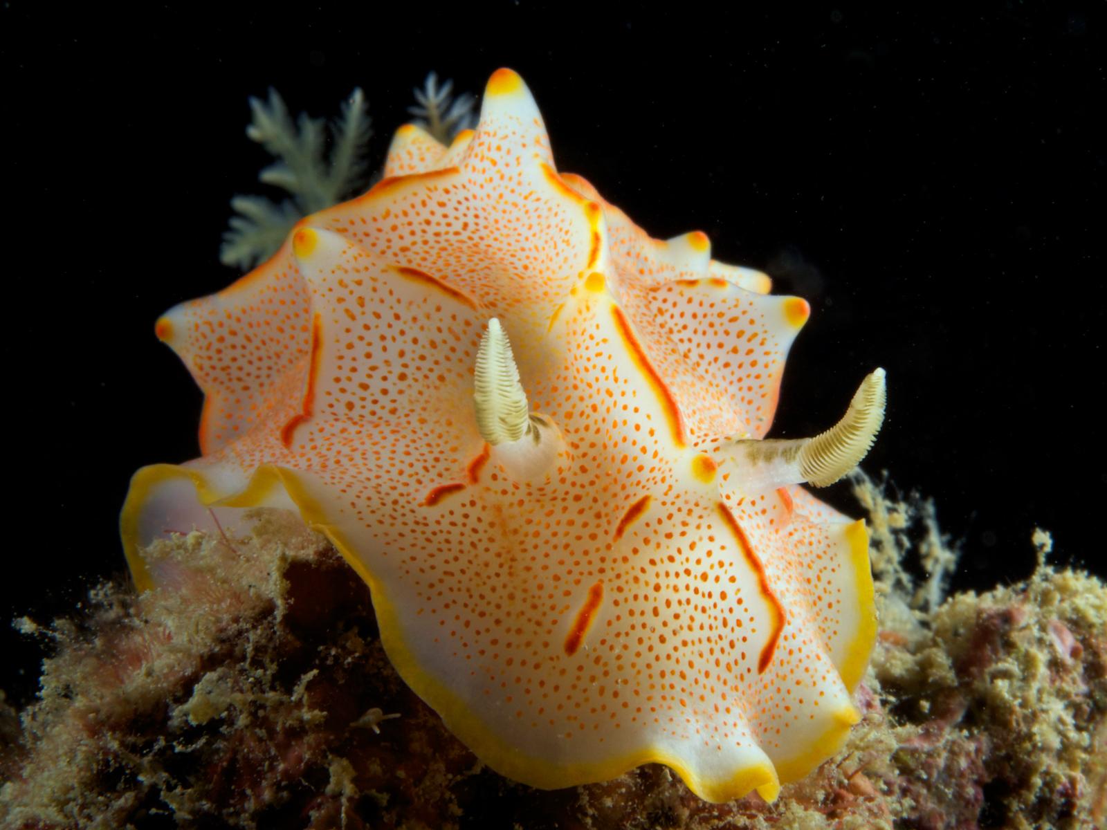 Nudibrach - Halgerda bacalusia