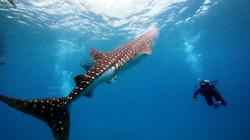 Scuba diver next to a whale shark