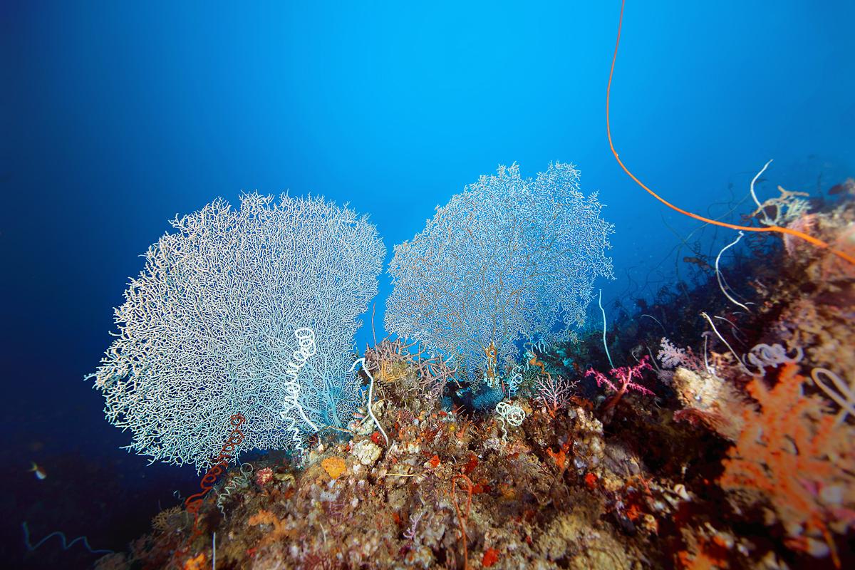 White Fan Coral