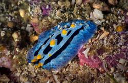 Phyllidia Nudibranch