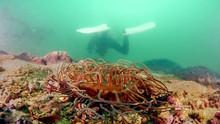 Anemone and Scuba Diver at Sharp Island, Hong Kong