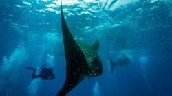Whale shark tail