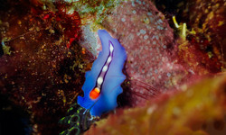 Red-tipped flatworm
