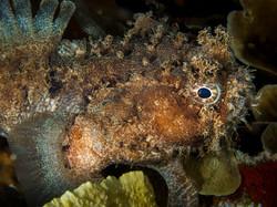 Small-scale Scorpionfish