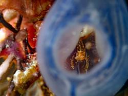 Shrimp in Sea Squirt